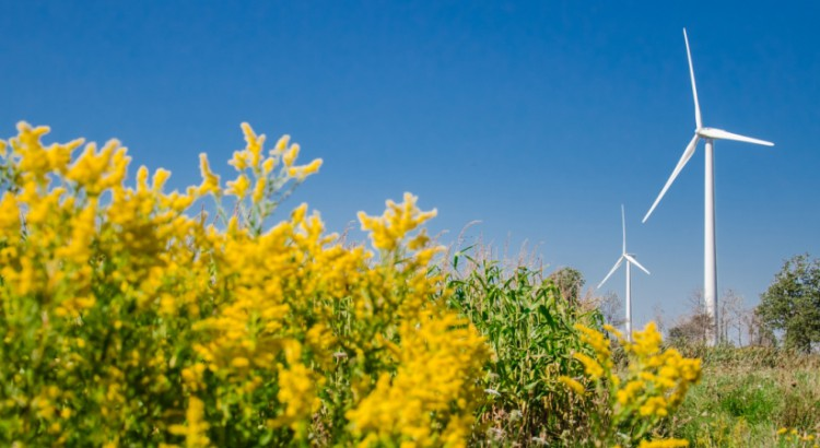 fuzzy yellow flowers foreground turbines behind 944 x 450